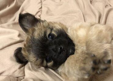 Собаки - Кыргызстан: Продаётся щенок чихуахуа. Мальчик возраст 2 месяца. Щеночек длинношёрс