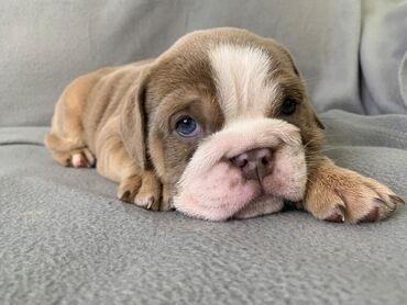 English Bulldog Puppies For AdoptionExcellent Pedigree.English Bulldog