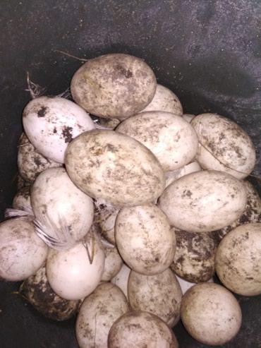 Яйца утиные инкубационные в Сокулук