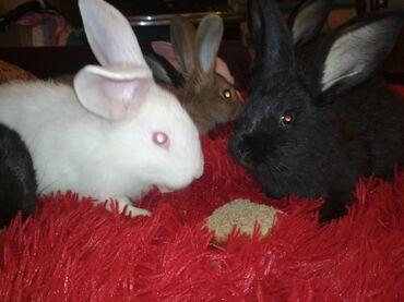 Продаю породистых крольчат.Порода великан с фландеромПропояны от