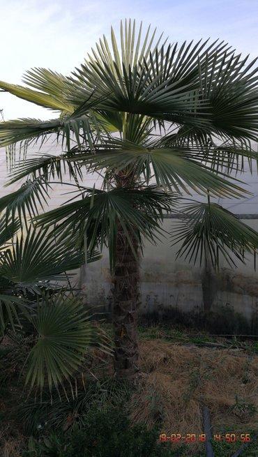 Сеянцы самшит, эльдарский сосны, в Араван