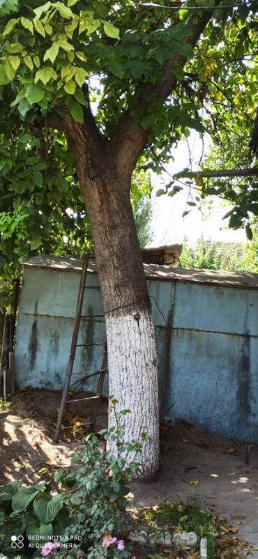 1293 объявлений: Продаётся Ореховое дерево срочно