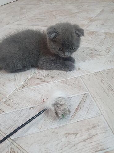 Продается котёнок - вислоухий Шотландец) игривый мальчик - будет хорош