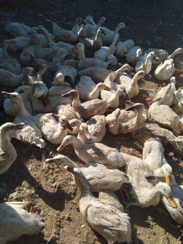 Животные - Полтавка: Продаю бролерных утак молодые несётся и на мяса