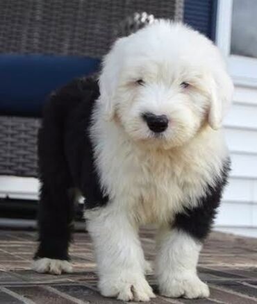 English sheepdog Both genders available, vaccinated and wormed potty