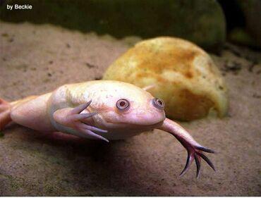 Аквариумы - Кыргызстан: Обменяю самца шпорцевой лягушки на самку. Самец взрослый 2,5года
