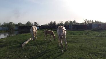 Животные - Кыргызстан: Продаю | Кобыла (самка), Жеребенок | Для разведения | Племенные