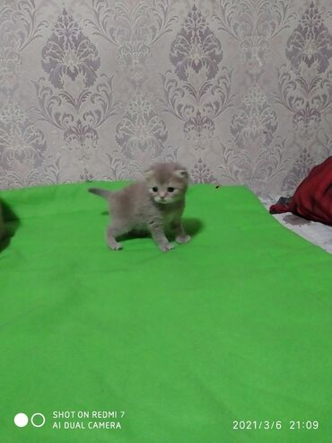Продается котенок шотландский вислаухий, девочка месяц будет 7 марта