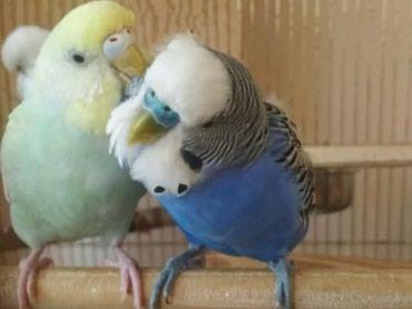 Взрослые попугаи от 500 сом также есть клетки от 300 сом в Бишкек