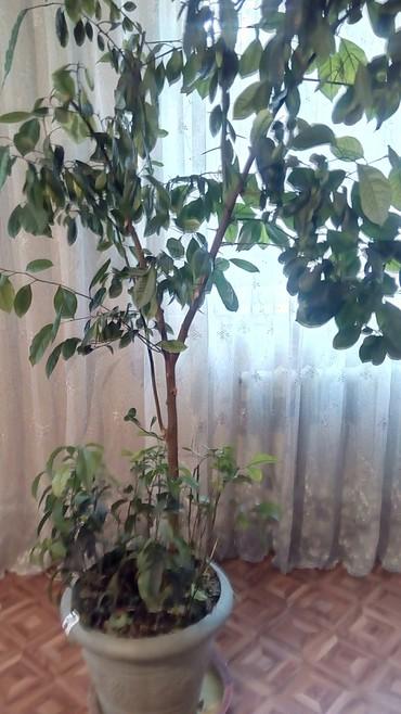 комнатный-цветы в Кыргызстан: Домашний цветок в горшке. мандарин. 2м40см