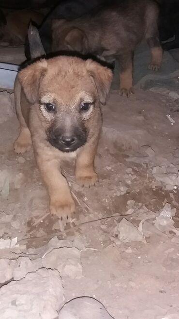 Собаки - Кыргызстан: В добрые и заботливые руки. 6 щенков. 2 мальчика и 4 девочки.Очень