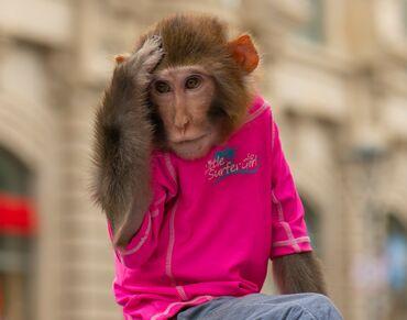 meymun - Azərbaycan: Meymun 5 yasi var Max omru 30-35 il ağlilli meymundu makaka parodasi