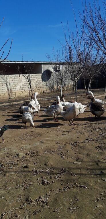 - Azərbaycan: Linda Qazları.  Xoruz Fərə Damazlıq