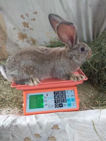 Крольчата. Фландр. 2мес в Бишкек