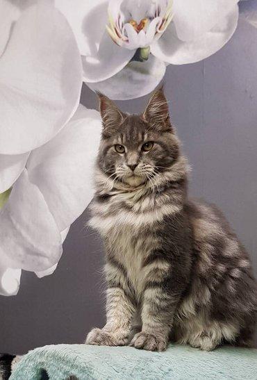 Продаётся котята породы   мэйн кун. в Бишкек