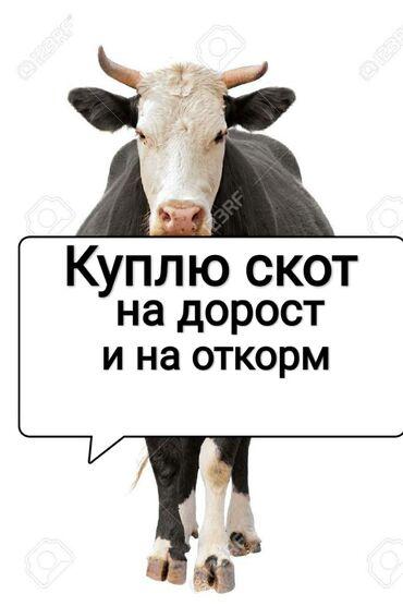 Куплю коров,бычков и телок любого возраста