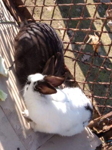 Çütü 20 manat biri 10 manat qara erkey ağ kişidi ağ dovşanin ayağında