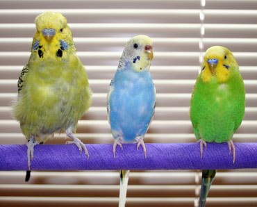 волнистые попугаи размножение в Кыргызстан: Продаю Волнистых попугаев попугай попугая попугаю попугая попугаем