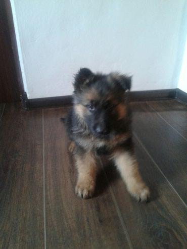 Продаю щенки немецкой овчарки два в Бишкек