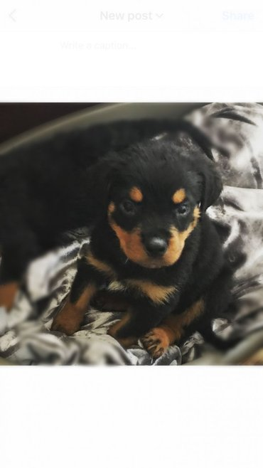 Beautiful Rottweiler Pup For Sale Beautiful puppy will be ready to - Boljevac