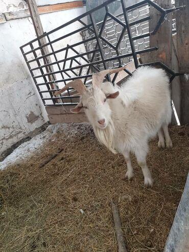 С/х животные - Кыргызстан: Срочно продаю пародистые,молочные большой