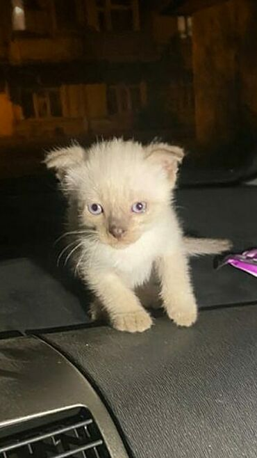 pisik - Azərbaycan: Siamski pisik balasi satilir. Tam saqlamdir.qulaqlari sallaqdir.1ay