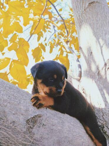 539 объявлений   ЖИВОТНЫЕ: Продается щенок ротвейлер - ему месяц ( мальчик ) беловодск