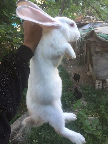 Животные - Массы: Продаю   Кролик самец   Фландр   Для разведения