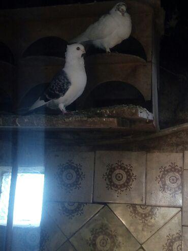 Животные - Масаллы: Bu quwa diwi axdariram diwi satan olsa aliram cudewdirmeycin