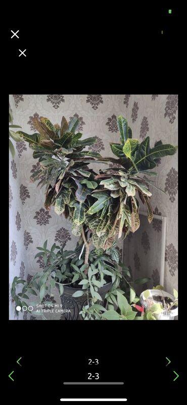 Домашнее растение! Продам с хорошей скидкой! Вместе с горшком