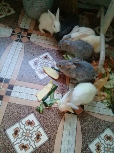 dovsanlar - Azərbaycan: Dovsanlar 7 ededdir tecili satilir aglarin gozu qirmizidi