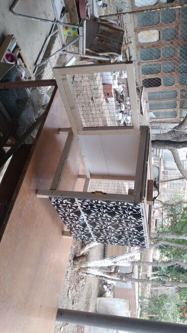 dovsan - Azərbaycan: Karlik dovsan kletkayla birlikde satilir 45 manata