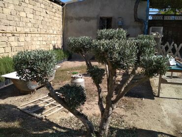 zeytun - Azərbaycan: Satılır həmişə yaşıl zeytun ağacı dekorativ ağacdır ikinci bir adı