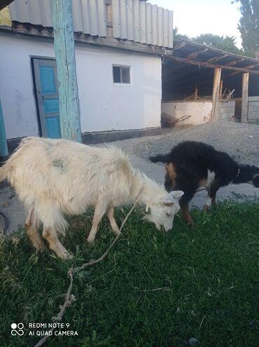 Животные - Гавриловка: Козы, козлы