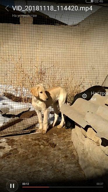 Щенок кыргызского тайгана 5 мес сука в Бишкек
