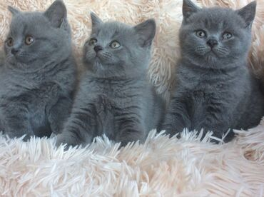 Λατρευτά βρετανικά γατάκια shorthair προς πώληση. Η μαμά είναι βρετανι