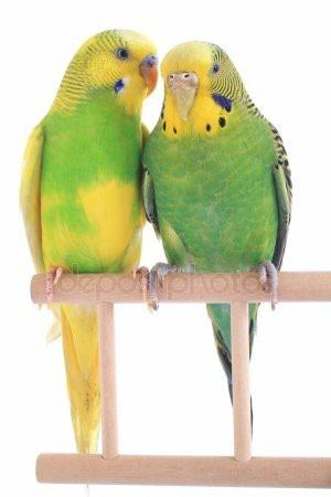 Волнистые попугаи птенцы по 500сом в Бишкек