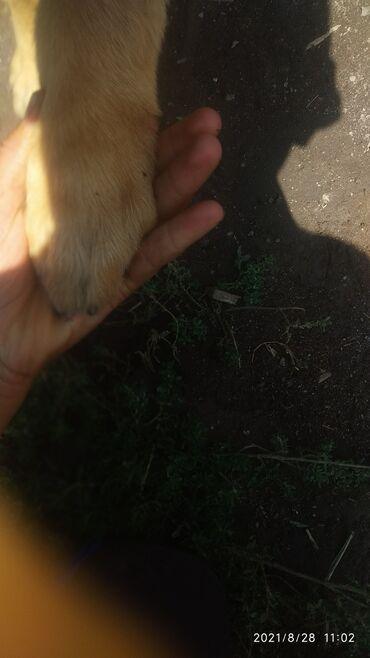 31 объявлений | ЖИВОТНЫЕ: Продаю щенка смешаный с немецкой овчарки и алабая 2.5месеца за3500ты