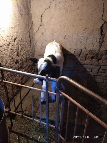 белые наушники без проводов в Кыргызстан: Продаю бычка возраст 20 января будет 2 месяца с Петровка