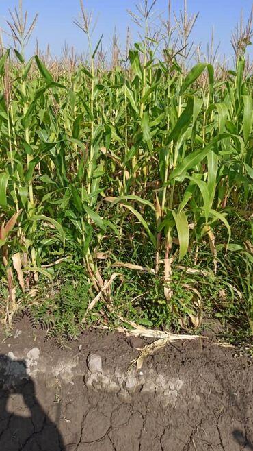 188 объявлений: Продаю кукурузу под силос. Урожайность средная 20 гектар