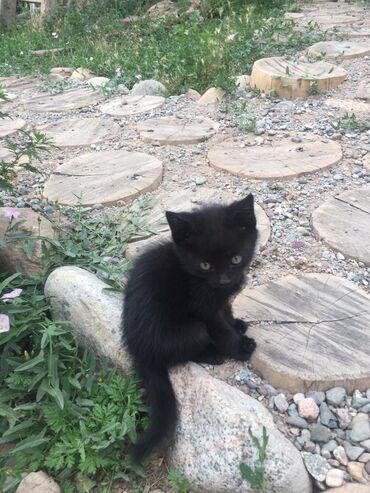 Животные - Таш-Мойнок: Продам кошку чёрного цвета ей 3 месяца Умеет ходить в лоток, играть. М