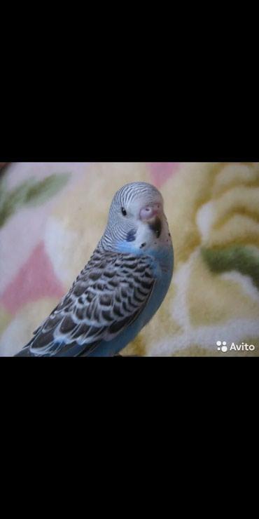 Птенчики голубых волнистых попугаев в Бишкек