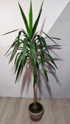 Другие комнатные растения - Кыргызстан: Юкка. высота 2 метра