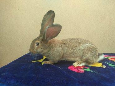 Продаю молодых кролов породы фландер в Бишкек