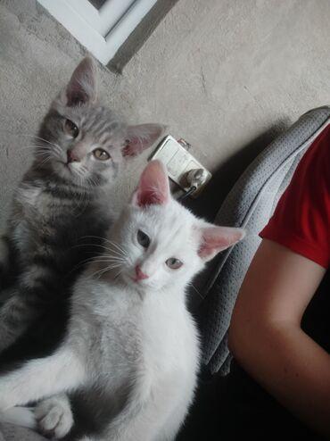Животные - Кой-Таш: Отдам котят в хорошие руки очень игривые ласковые кушают все как к