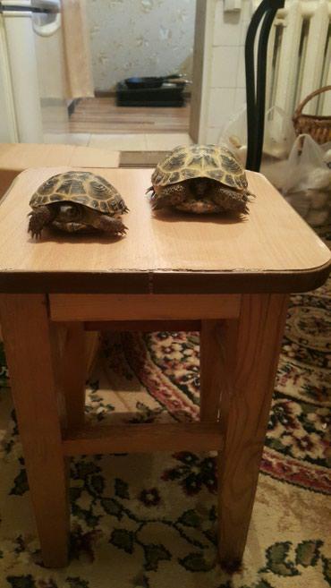 Продаю сухопутных черепах в Бишкек