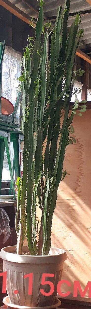 Кактус - Кыргызстан: Кактус высокий красивый ухоженный