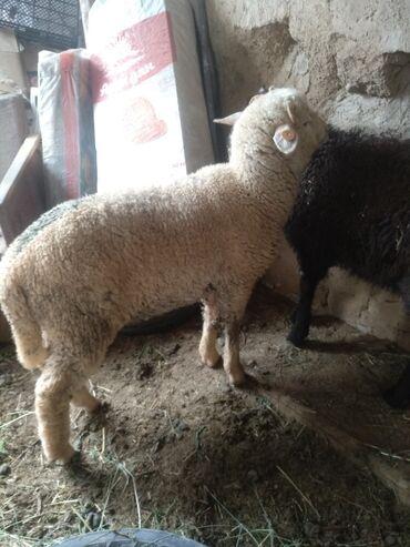 Животные - Нарын: Бараны, овцы