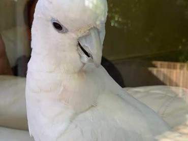 I'm selling a cockatoo that is 3 and a half years old . She goes with σε Andravida-Kyllini