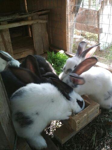 продам-крольчат в Кыргызстан: Продаю крольчат 1,5 месяцев 300сомов